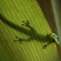 Gold Dust Day Gecko (http://commons.wikimedia.org/wiki/File:Gold_dust_day_gecko.JPG)